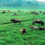 Chăn nuôi trên đất trồng cây lâu năm có bị vi phạm không?