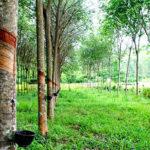 Đất trồng cây lâu năm có thể tách thửa được không?