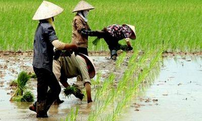 Đất trồng lúa nước còn lại là gì? trách nhiệm sử dụng đất trồng lúa?